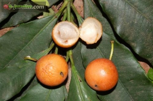 garcinia